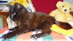 A Havana Brown cat lying in a bed