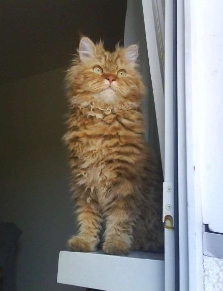 A cinnamon tabby Selkirk Rex cat