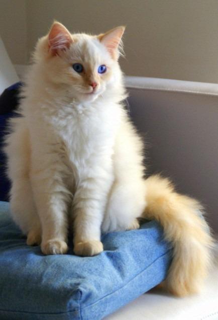 A flame point Ragdoll cat