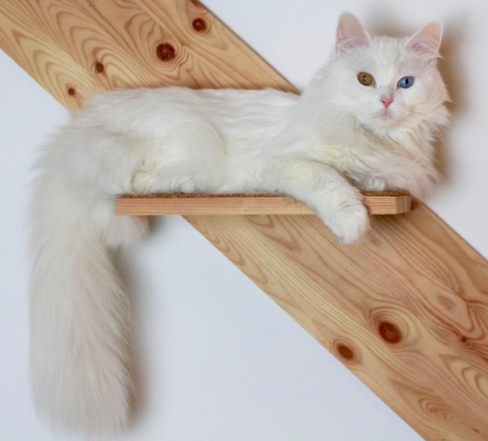A Turkish Angora cat with odd eyes