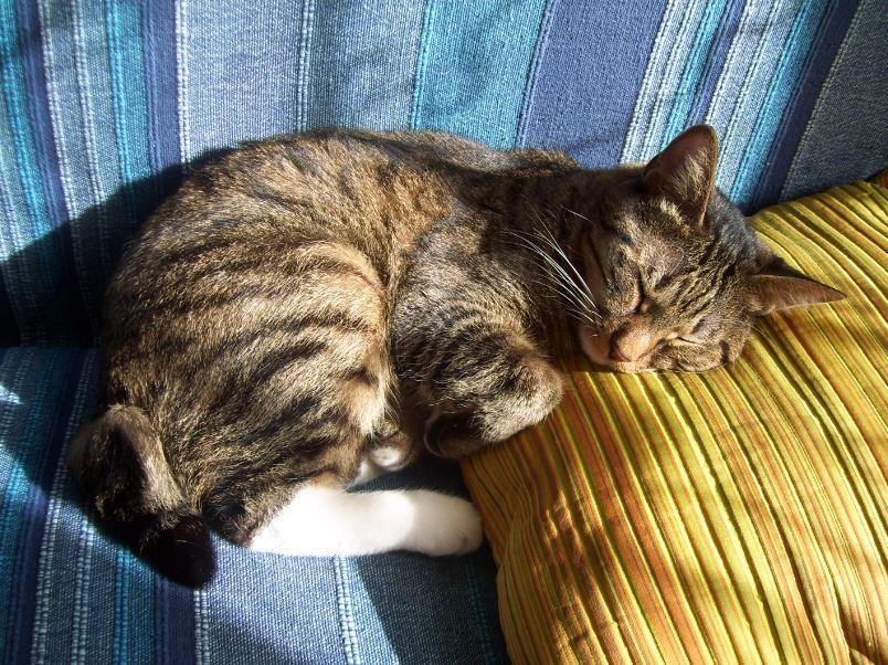 A short-haired Kurilian Bobtails cat