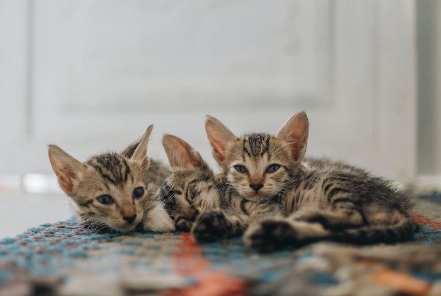Sokoke kittens lying on the floor