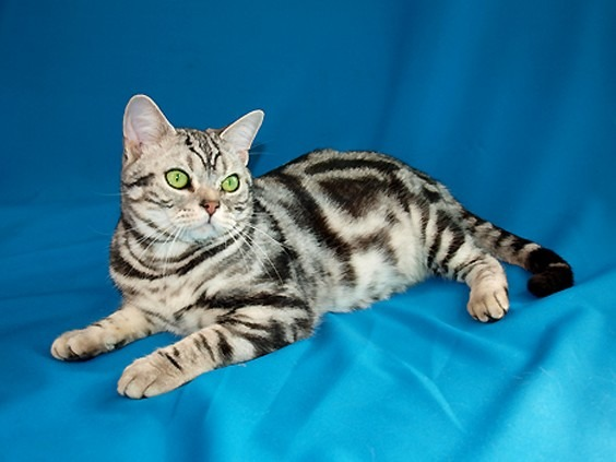 American Shorthairs are a family favorite across many households due to their even-tempered demeanor