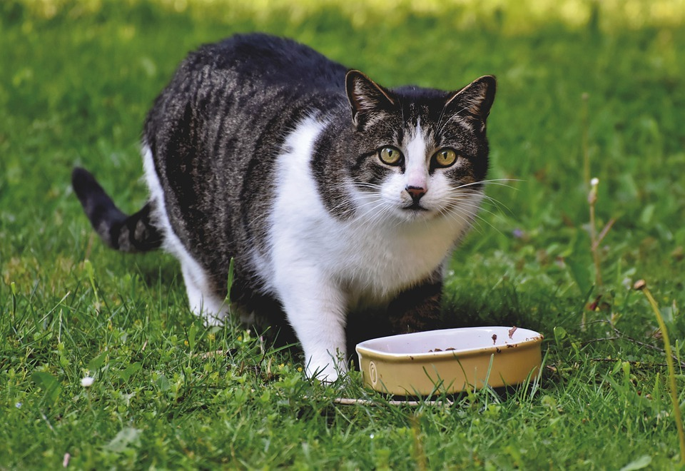 cat, grass, food bowl, cat food