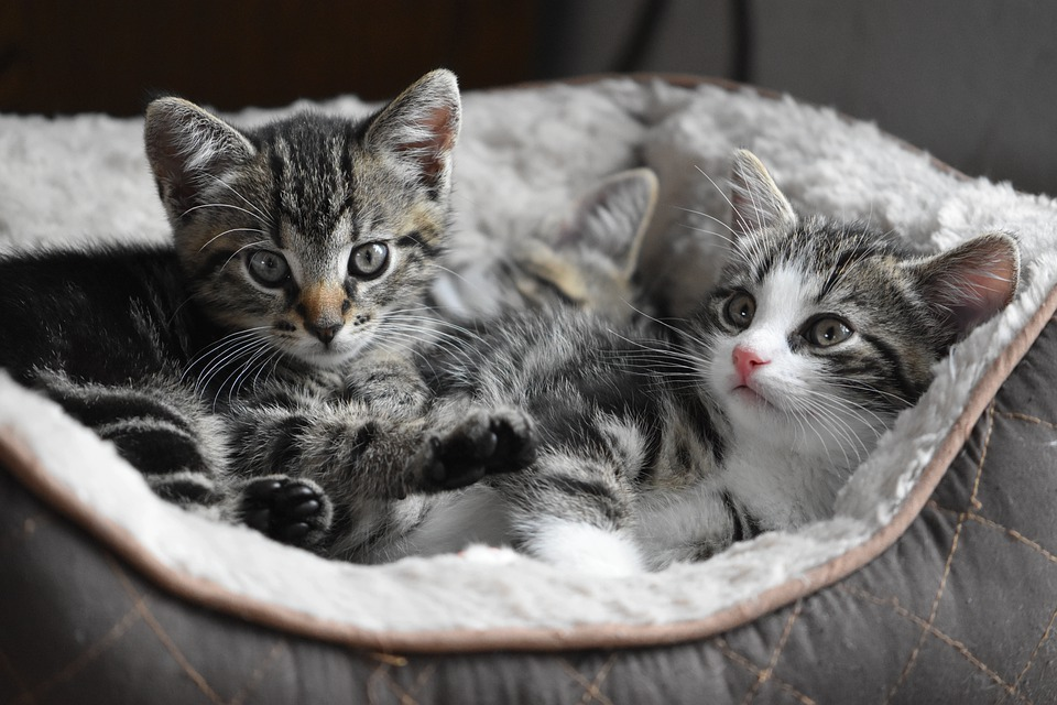 two kittens, cat bed