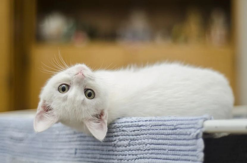 A cat leaning back and looking at the camera